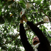小柳農園さんの桃がご購入いただけるようになりました!