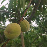 桃農家 小柳農園様へ桃の視察に行ってきました!